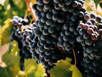 Morellino di Scansano vendemmia 2020 volumi in calo qualit